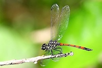 picture of a red and blue thorax dragonfly