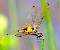 picture of rhyothemis phyllis dragonfly