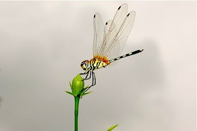 picture of a yellow dragonfly