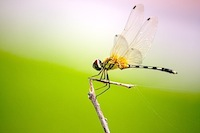 picture of yellowish dragonfly