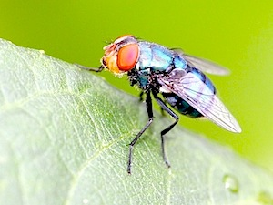 photo of a housefly in malaysia