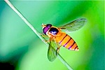 picture of orange hoverfly in malaysia
