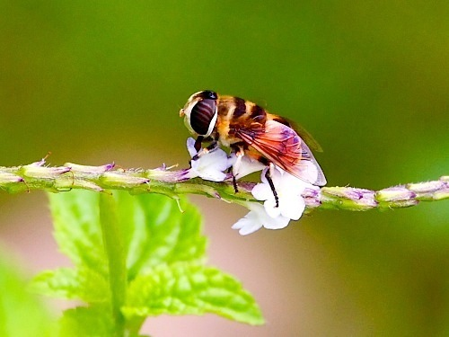 picture of hoverfly found in malaysia