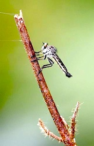 picture of a robberfly in malaysia