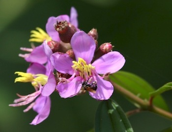 bee on flowers pollinating