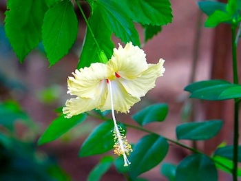 two-colored hibiscus flower