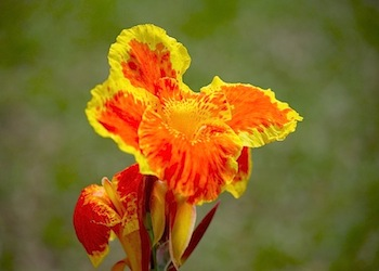bright colored canna flowers