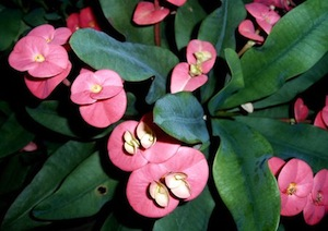 pinkish euphorbia flowers
