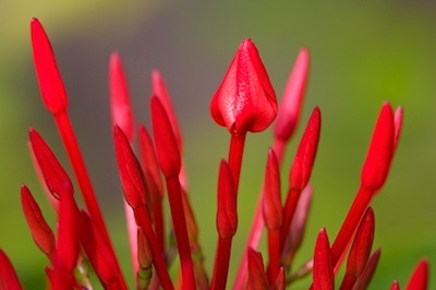 bright red ixora buds