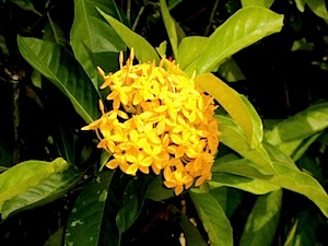 orange ixora flowers