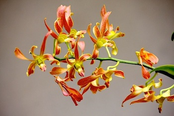 brownish red orchids