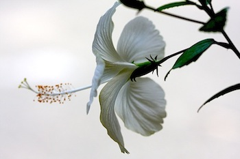 side-view of white hibiscus flower