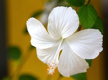 white colored hibiscus