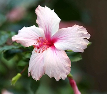 white and pink hibiscus
