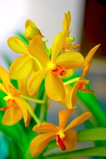 picture of yellow orchid found in malaysia