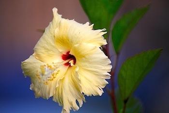 malayian red hibiscus