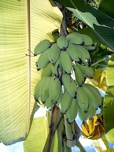 image of bananas on tree