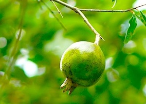 photo of buah delima, a malaysian fruit