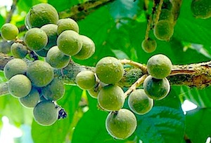 picture of duku fruit on tree