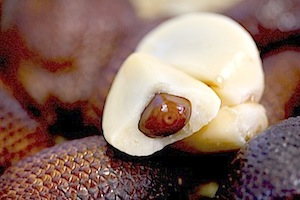 picture of the inside of malaysian snakefruit (salak)