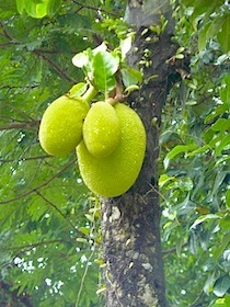 picture of jackfruits on tree