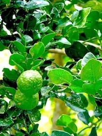 photo of kaffir lime on tree