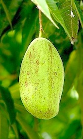 picture of a mango on tree