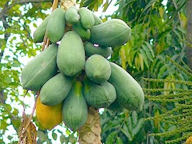 photo of papayas on tree