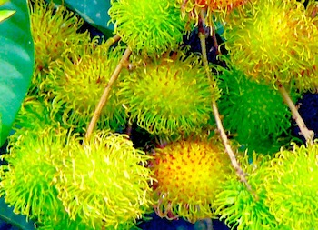 picture of yellow rambutans found in malaysia