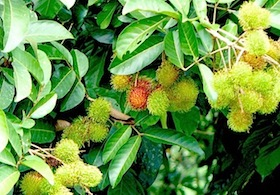 picture of rambutans on tree