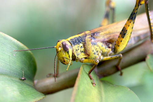 close up of locust picture