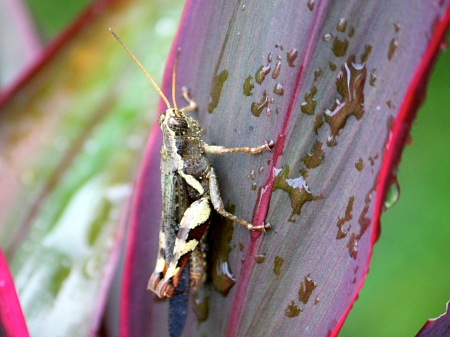 brownish grass-hopper picture