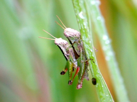 picture of grass-hoppers mating