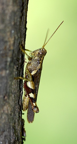 grass-hopper on a tree in malaysia