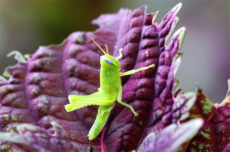 small, green grass-hopper on a flower plant