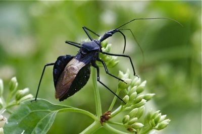 assassin bug picture in malaysia