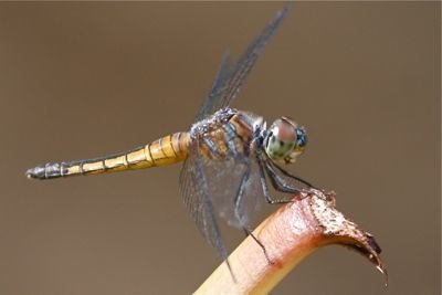 photo of a malaysian dragonfly