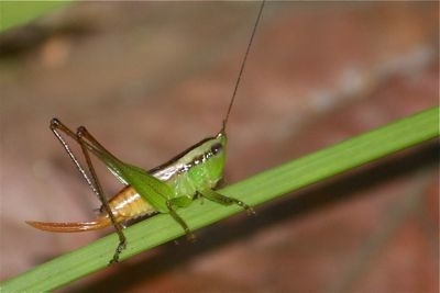 malaysian grasshopper picture