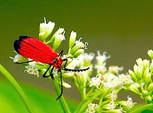 picture of a red bug