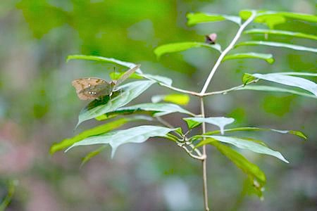 butterfly on a plant at jebak puyuh
