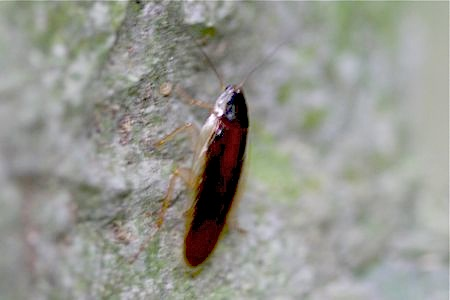 forest cockroach at jebak puyuh