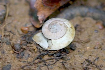 a snail shell at jebak puyuh