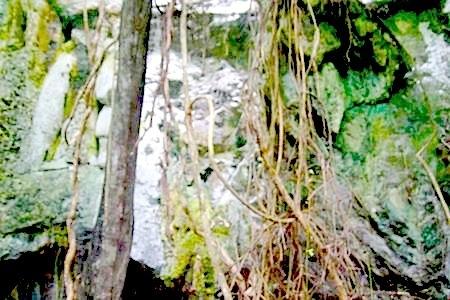 vines hanging along limestone hill at jebak puyuh