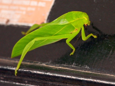 picture of a malaysian katydid