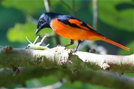 minivet bird eating insect at lake kenyir