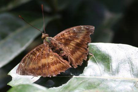 butterfly found at lake kenyir in malaysia