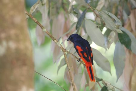 scarlet minivet bird seen at malaysia lakes