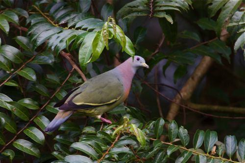 little green pigeon, bird in Malaysia