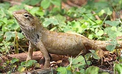 picture of garden fence lizard