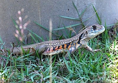 picture of a common butterfly lizard found in malaysia